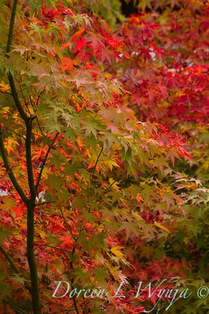 Acer palmatum_161