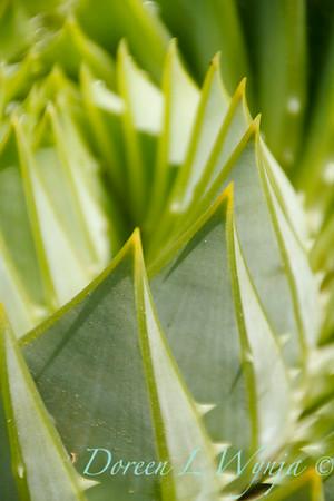 Aloe polyphylla_0832