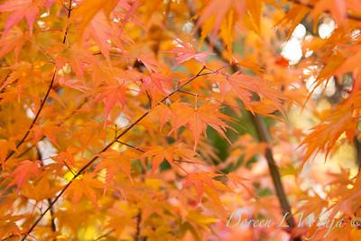 Acer palmatum_062