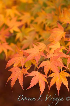 Acer palmatum_087