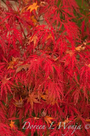 Acer palmatum_082