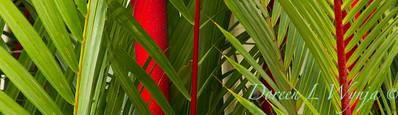 Cyrtostachys renda lipstick palm_1926