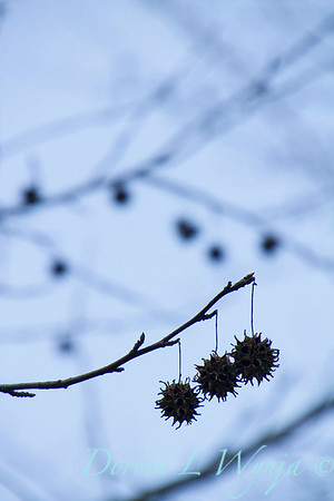 Liquidambar styraciflua seed pods_1821