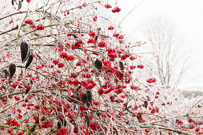 Forst on red berries_9294