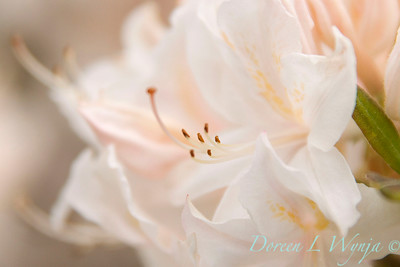 Azalea White Light_020
