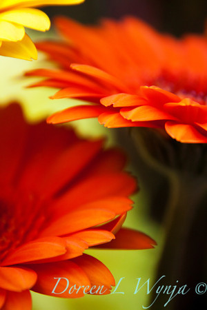Gerbera jamesonii_016