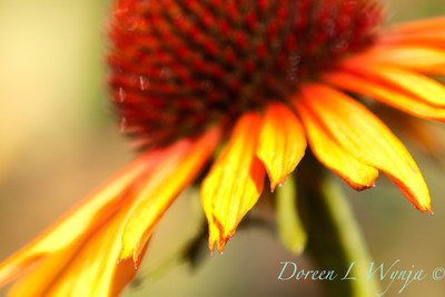 Echinacea Flame Thrower_028