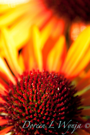 Echinacea Flame Thrower_025