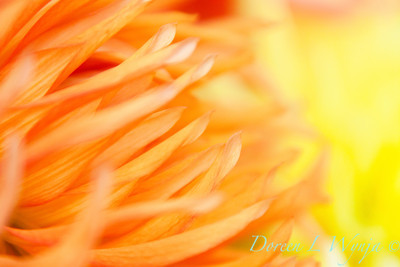 Chrysanthemum_040