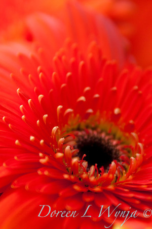 Gerbera jamesonii_045