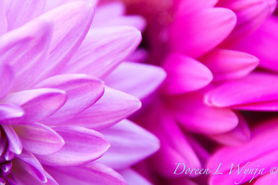 Chrysanthemum_030
