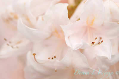 Azalea White Light_026