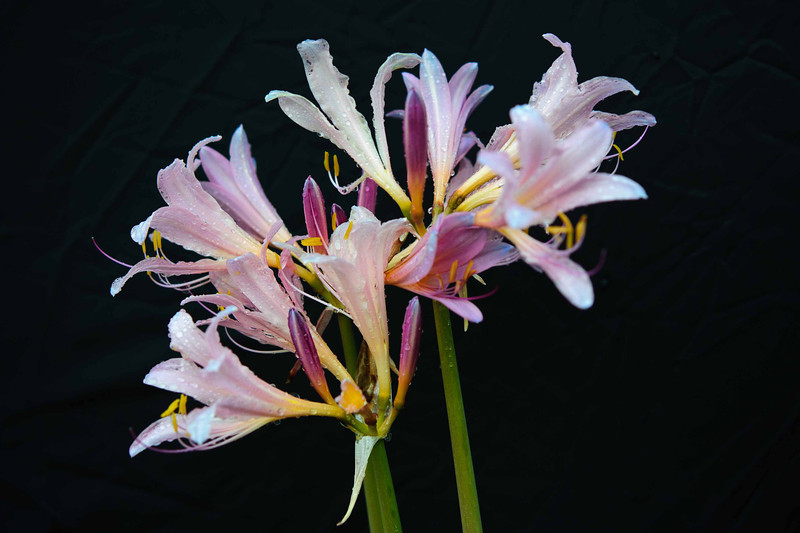 "The surprise lily (Lycoris squamigera) blooms in August when few others plants are providing color to the garden. In early spring daffodil-like leaves emerge briefly and wilt. Several weeks later, the gardener is ""surprised"" to see lilac-pink, fragrant flowers appearing on this 18 to 30 inch stalks."