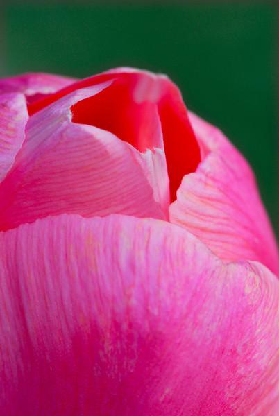 Pink Tulip Top Macro - Take 2