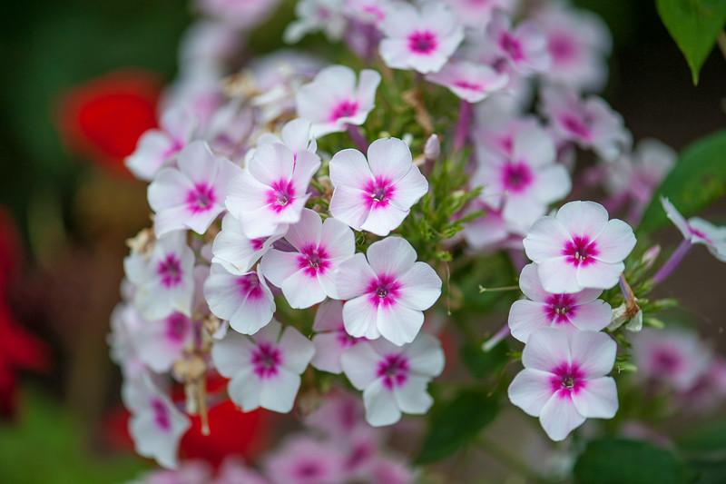 Pink & White Phlox