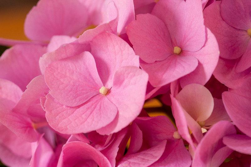 Pink Hydrangea Cluster - Take 2 - Closer