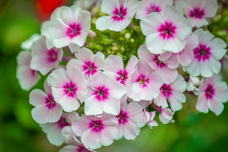 Pink & White Phlox - Take 2
