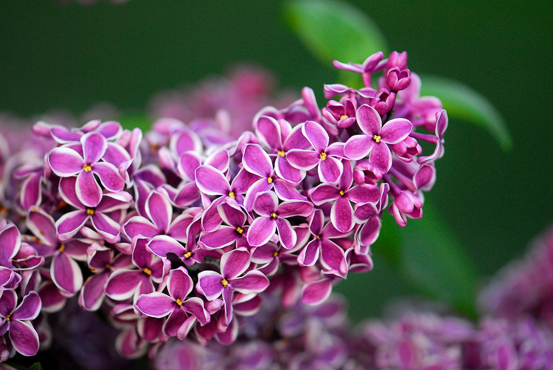 Lilac with Outlines