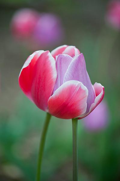 Hugging Tulips