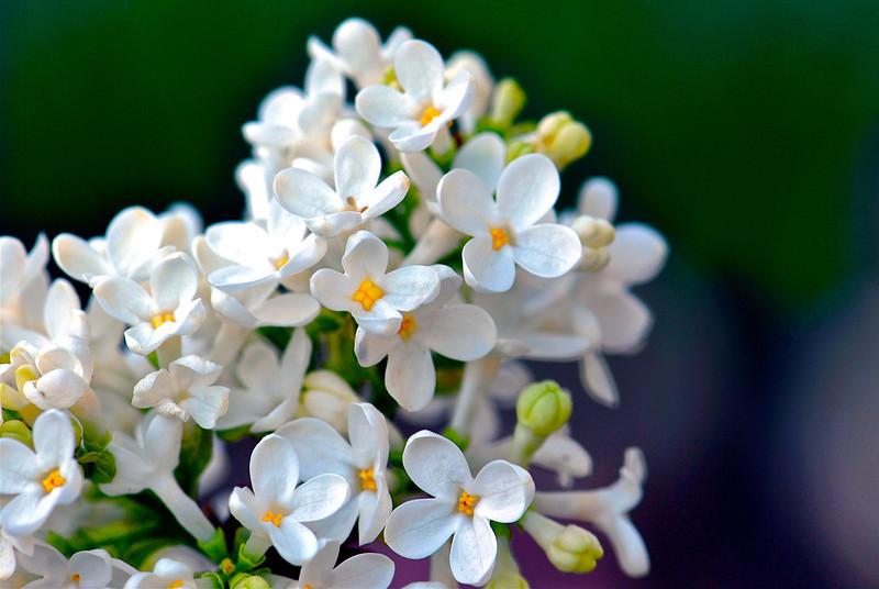 White Lilacs Close-Up