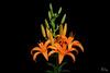 daylily-2
