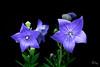 Purple Flower-1