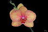 orchid-1