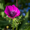 Visit to Colonial Williamsburg on beautiful spring afternoon - but found tulips & some other flowers definitely past their prime; one of our favorites, Taliaferro-Cole garden behind shop & house on Duke of Gloucester St at Nassau St; magenta anemone