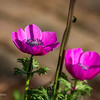 Visit to Colonial Williamsburg on beautiful spring afternoon - but found tulips & some other flowers definitely past their prime; one of our favorites, Taliaferro-Cole garden behind shop & house on Duke of Gloucester St at Nassau St; magenta anemones