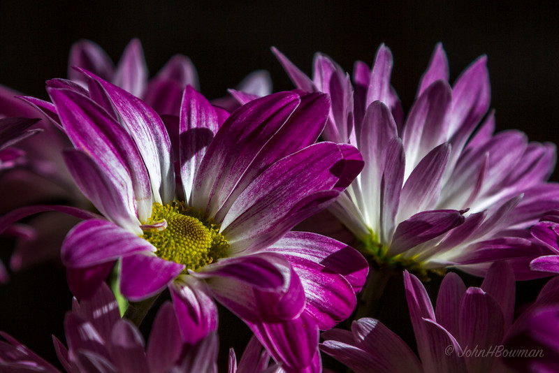 Boouquet of yellow and violet & white chrysanthemums on kitchen table in afternoon sun