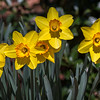 Went to Lewis Ginter Botanical Garden for 1st visit of 2016,; many daffodils past prime but still many nice ones, & some early tulips; magnolias not very good, maybe due to storm damage; a bit breezy for best flower photography, but nice; comfortable temperature with high ~70 - much better than Wednesday's 84 & Saturday-Sunday forecast highs in 40s (it's March!); these large, strongly-colored daffodils were in full sun, W side of Four Seasons Garden, near Visitors Center