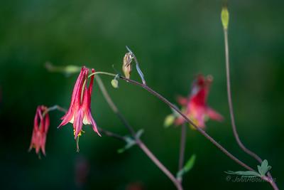 Columbine Blossoms
