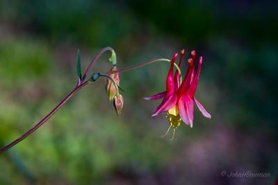 Columbine Blossom