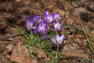 Lewis Ginter Botanical Garden on a nice, although breezy, February day - sunny, high ~55; signs of spring in Flagler Perennial Garden, E side of botanical garden; crocuses