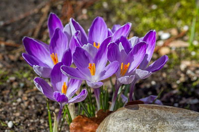 Purple crocuses by back driveway at home