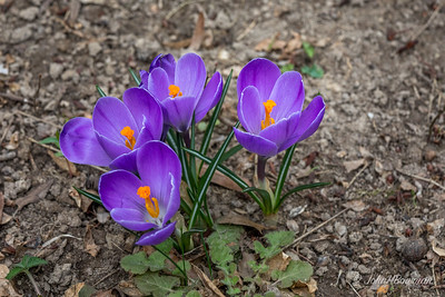 First crocuses of 2017 were yellow ones on Elmart (E) side of yard, end of January, but I failed to take any photos until now (February 27); used 5D4 on servo AF to deal with breeze, 70-200/4L with CPOL