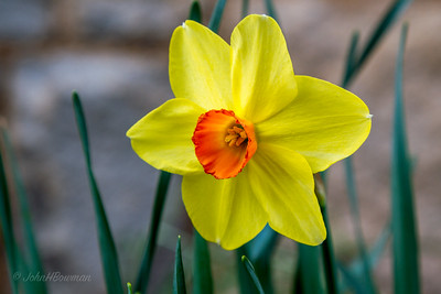Daffodils, Jonquils, Narcissi