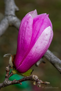 Saucer Magnolia Bud - Starting to Open