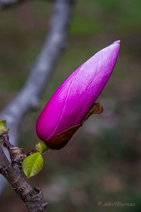 Saucer Magnolia Bud - Stage 1, Tightly Wrapped