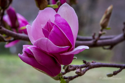 Saucer Magnolia Bud - More Fully Opened