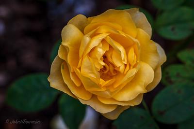 """""""Julia Child"""" Rose"""