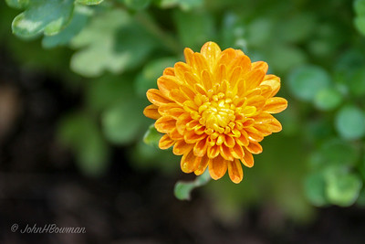 Chrysanthemum blossom on deck, an early shot with the 17-40L lens