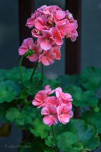 Geranium Blossoms