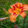 Shenandoah National Park, Thorofare Mountain Overlook, MP 40.5 Elevation 3595'; daylily at N end