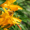Bee on Lily