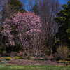 Lewis Ginter Botanical Garden in early April; spring later this year than last - some daffodils past prime, some haven't bloomed yet, most tulips haven't bloomed; Flagler Perennial Garden - daffodils & saucer magnolias