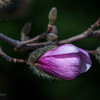 Pink Star Magnolia Bud, Opening