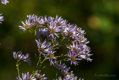 Asters, late in season