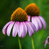 Coneflowers (a bit past their prime)