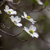 Dogwood blossoms, shot from west window of our bedroom, 300mm lens